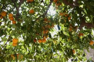 sicily_tree